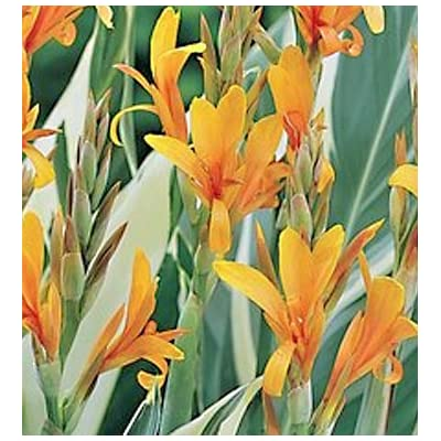 Stuttgart Canna Lily, Variegated Foilage, Orange Flowering Bulb, Root, Rhizome, Plant, Nice addition to your Garden, Simply Gourgeous Flowering Perenial : Garden & Outdoor