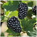 """Natchez Thornless Blackberry - Healthy - 4"""" Potted Plant - 1 each by Growers Soltuion"""