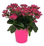 Kurt Weiss Greenhouses Live Pink Kalanchoe Plant in a 6'' Decorative Tin