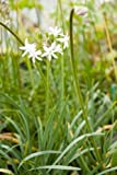 1 Strater Plant of Tulbaghia Violacea 'Alba' - White Flowered Society Garlic