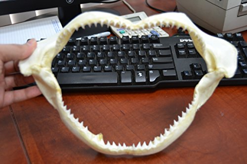 Real Black Tip Shark Teeth Tooth Jaw Mouth Craft 11