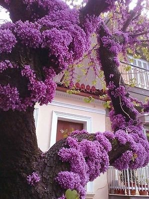 (Cercis Canadensis, Eastern Redbud Cold Hardy Flowering Tree 20/60/200 Seeds)
