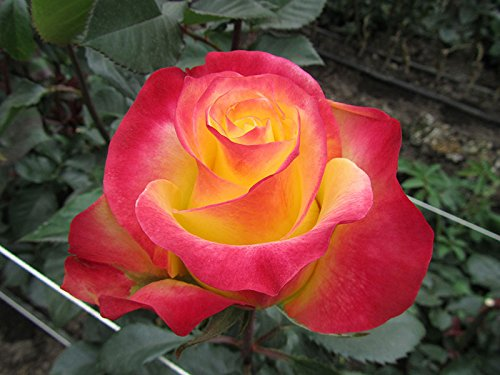 20 Yellow Red Rare Rose Seeds Fresh Hybrid Tea Rose Flower Seeds Bi-Color ()