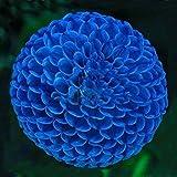 Hemore Unique Blue Fireball Dahlia Seeds Beautiful Flower Seeds Perennial Plant Dahlia Seeds - 100 PCS