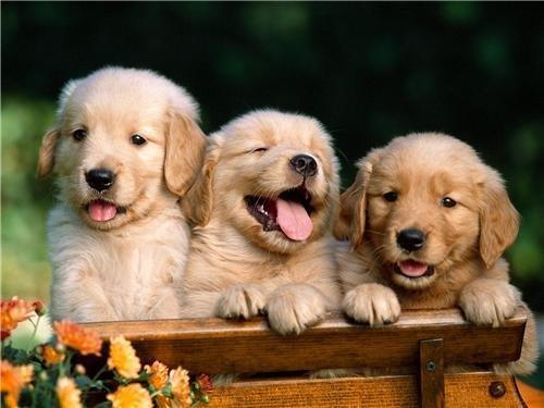 GOLDEN RETRIEVER PUPPIES GLOSSY POSTER PICTURE PHOTO dog puppy labrador aww - Golden Retriever Puppy Photo