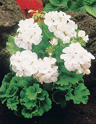 Willemse France 3 Géraniums à massifs blancs