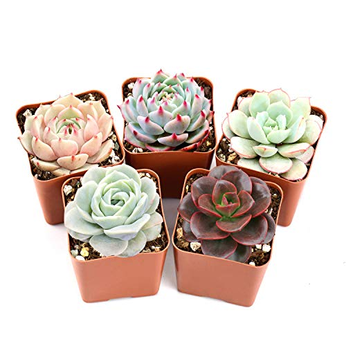 "Succulent Plants, 5 Pack of Assorted Rosettes, Fully Rooted in 2"" Planter Pots with Soil, Valentine"