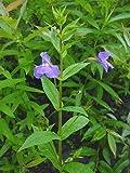 Monkey Flower 50 Seeds - Mimulus ringens
