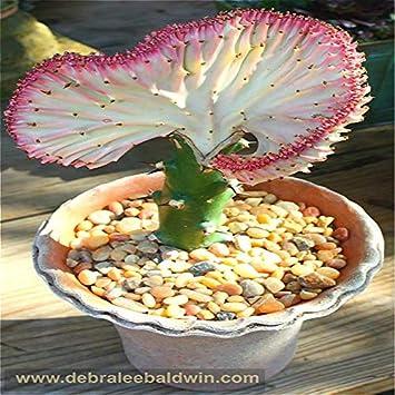 Nuevo Jardín Fresco plantas 30 unids/pack Cactus Bonsai Variedad Floración Color bonsai Cactus Raras Lithops Ollas Oficina Mini Planta Succul: 4: Amazon.es: ...