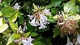 Abelia grandiflora Francis Mason VARIEGATED ABELIA 1 Plant!