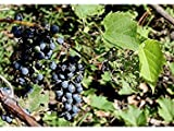 buy 25 Seeds Riverbank Grape (Vitis riparia) Fruit Vine now, new 2019-2018 bestseller, review and Photo, best price $7.49