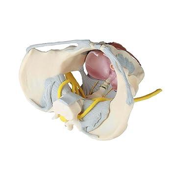 Anatomie Modell, weibliches Becken Modell mit Bandapparat, Nerven ...