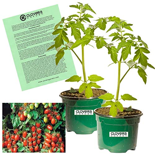 "Clovers Garden 2 Juliet Grape Tomato Plants Live - 4"" to 7"" Tall, 3.5"" pots - Non-GMO, Indeterminate, Grape-Type, Crack-Resistant, Includes Copyrighted Clovers Care Guide"