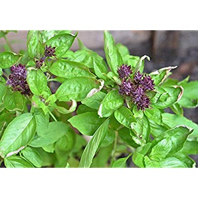 Sweet Cinnamon Basil (Herb Seeds), 500+ Premium Heirloom Seeds, Sweet Flavor! Perfect Addition to Your Home herb Garden! (Isla's Garden Seeds), 90% Germination Rates, Highest Quality Seeds : Garden & Outdoor