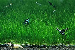 Flame Moss Mesh Pad - Taxiphyllum sp. Live Aquarium Plant by SoShrimp