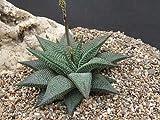 Haworthia limifolia succulent plant (6cm diameter)