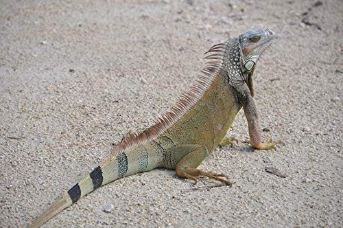 Home Comforts Canvas Print Lizard Brown Reptile Creature Nature Iguana Sand Vivid Imagery Stretched Canvas 32 x 24