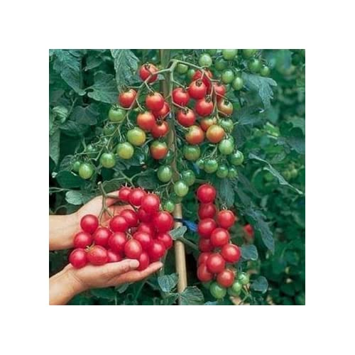 30pcs Bheema Colombie cerises tomates Semences Jardin des Plantes