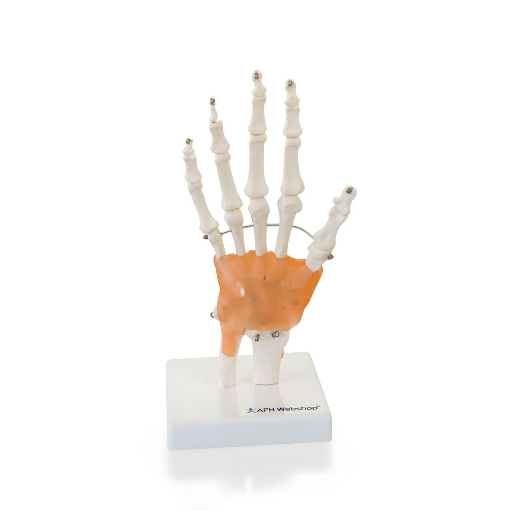 Anatomisches Hand Skelett Model mit Ligament | lebensgroßes ...