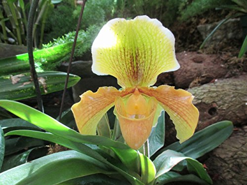 Paphiopedilum R. Leng. from the Orchid family with over 28000 species .