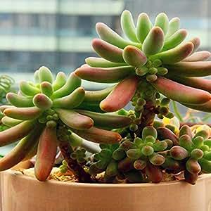 Bargain World 40pcs Sedum Pachyphyllum Seeds Succulent Plants Potting