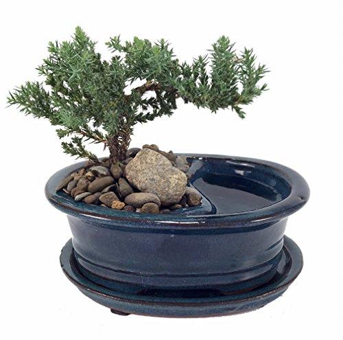 Feng Shui Reflections Japanese Juniper Bonsai Tree - Pot/Saucer - 6