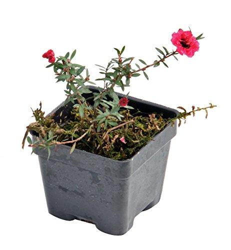 - New Zealand Tea Tree 'Ruby Glow' (Leptospermum scoparium)