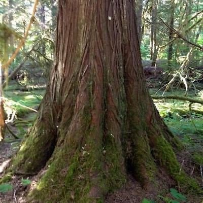Western Red Cedar Tree Seeds (Thuja plicata) (Red Cedar Tree Trunk)