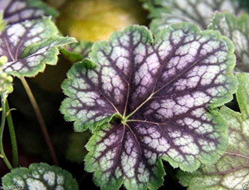 Coral Bells Perennial - Fancy-leaf Coral Bells,Heuchera americana Marvelous Marble,Perennial, Zone: 4-9(10 Seeds)