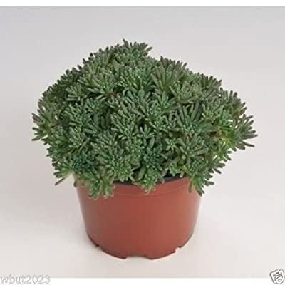 Sedum rubens lizard (200 Seeds) Great accent plant for mixed containers : Garden & Outdoor