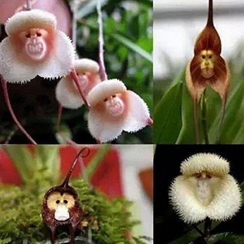 WuWxiuzhzhuo 20Pcs Singe Visage Fleur d'orchidée Graines, Graines de Plante bonsaï Jardinage Domestique