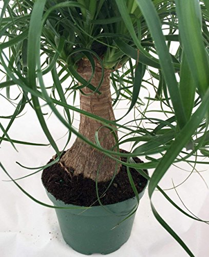 Brussel's Bonsai Live Guatemalan Red Ponytail Palm with 6'' Plastic Pot, Medium by Brussel's Bonsai (Image #1)