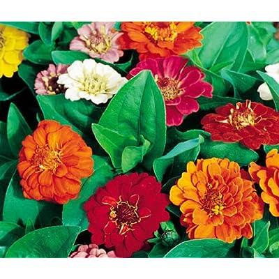 Zinnia THUMBELINA Dwarf Mix Zinnia Elegans - 1, 000 Bulk Seeds : Garden & Outdoor