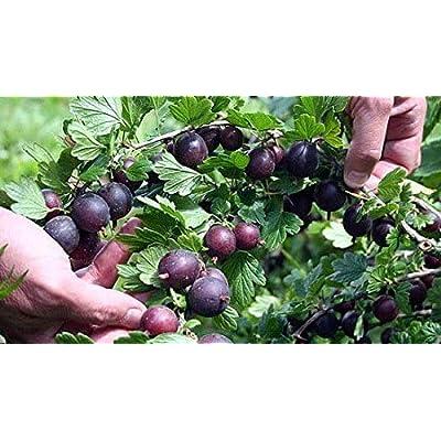 """Black Velvet Gooseberry Bush Eat Fresh or Baked 2.5"""" Pot - HGarden365 : Garden & Outdoor"""
