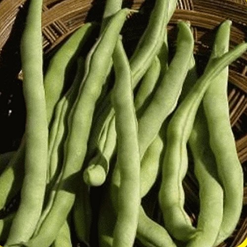 Everwilde Farms - 1 Lb Kentucky Wonder Pole Pole Bean Seeds - Gold Vault (Pole Kentucky Wonder)