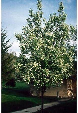 80 BLACK CHOKE CHERRY Prunus Virginiana SEEDS