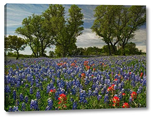 Sand Bluebonnets and Indian Paintbrush in Bloom, Hill Country, Texas by Tim Fitzharris - 18