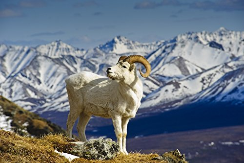 Price comparison product image A Young Dall Sheep Ram Standing On Mount Margaret With The Alaska Range In The Background Denali National Park Alaska Spring Poster Print (34 x 22)
