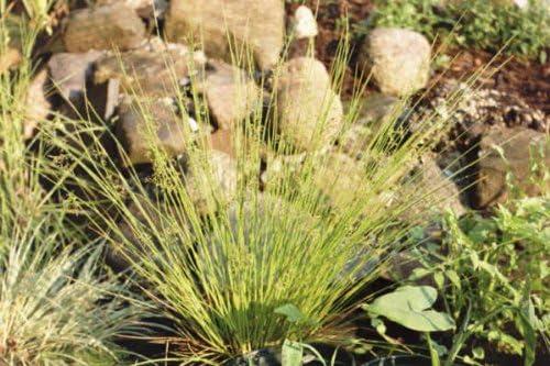 1000 SOFT RUSH GRASS Juncus Effusus Ornamental Perennial Seeds Flat