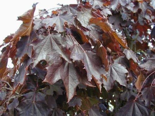 Crimson King Maple TREEs12-18 INCH DEEP Color