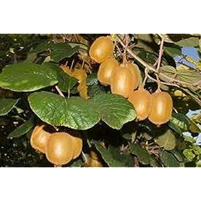 200 Seeds Kiwi Actinidia chinensis - Sweet Fruits Vigorous Fast Growing Vines : Garden & Outdoor