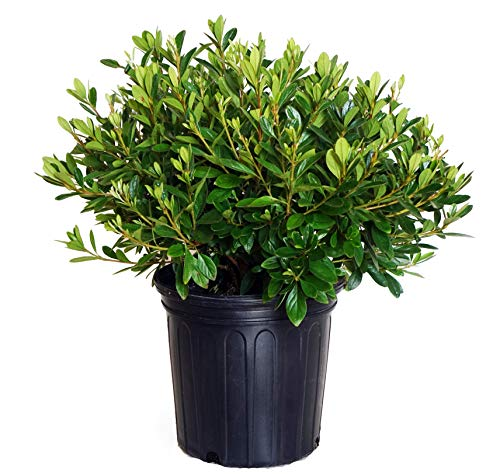 Azalea 'Karen' (Azalea) Shrub, lavender flowers, #3 - Size Container by Green Promise Farms (Image #5)