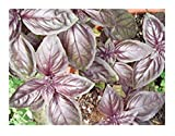 Sweet Basil Dark Opal, Purple (Herb Seeds), 500+ Premium Heirloom Seeds, ON Sale!, (Isla's Garden Seeds), 99% Purity, 85% Germination, Highest Quality!