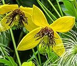 Clematis Golden Yellow Clematis Tangutica Aztek 249+ Bulk Seeds uKE -499