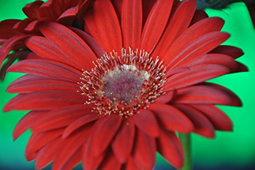 Home Comforts Acrylic Face Mounted Prints Gerbera Garden Plant Flowers Nature Flower Print 24 x 36. Worry Free Wall Installation - Shadow Mount is Included.