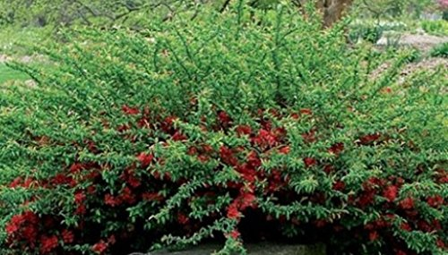 Chaenomeles, Texas Scarlet, Red Flowering Quince, (3 Plants)