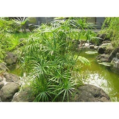 100 Umbrella Plant seeds Cyperus Alternifolius ornamental water plant CombSH : Garden & Outdoor