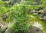 100 Umbrella Plant seeds Cyperus Alternifolius ornamental water plant