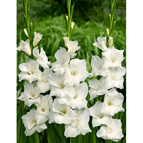 New (10) Fresh, New 2018, Soloist, White Flowering Gladiolus Bulbs, Plants, Flowers, Flowering Perennials,Sword Lily, Gladioli-SeedsBulbsPlants&More for cheap
