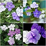Cutdek Brunfelsia Yesterday Today & Tomorrow Live Plant Beautiful Fragrant Flowers 5""